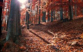Картинка лучи, солнце, опавшие, осень, лес, листья