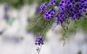 Картинка макро, цветы, ветки, лепестки, размытость, фиолетовые, Дуранта, голубиная ягода