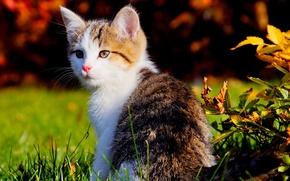 Обои кошка, котёнок, кот, природа