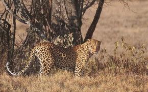 Обои леопард, дерево, стоит, рисунок, саванна, смотрит
