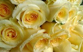 Обои капли, жёлтые, розы, охапка
