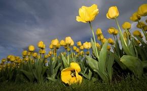 Обои тюльпан, желтый, цветок