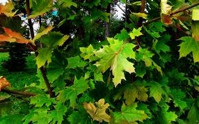 Картинка зелень, листья, природа, фон, Осень