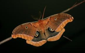 Картинка бабочка, крылья, ветка, усики, чёрный фон