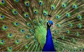 Обои красивая, павлин, птица