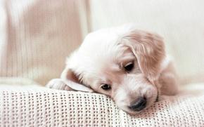 Картинка мордочка, щенок, плед, Золотой ретривер