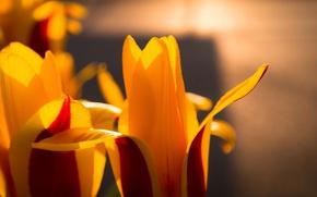 Картинка Flower, Colorful, Spring, Sunshine, Tulip, Blossom, Bloom, Vibrant