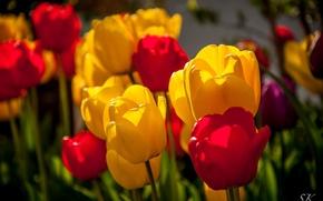 Картинка красный, цветы, макро, цвета, желтый, тюльпаны