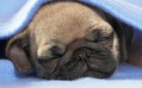 Картинка сон, щенок, одеяло, собока