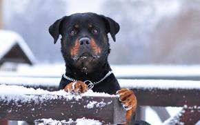 Картинка зима, снег, служебная порода, rottweiler