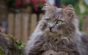 Обои портрет, взгляд, кошка, пушистая, кот