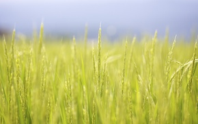 Картинка поле, лето, макро, япония, рис, Jason Hill рhotography