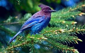 Картинка лес, свет, ветки, дерево, ель, перья, Птица, фиолетовые, синие, чубатая сойка