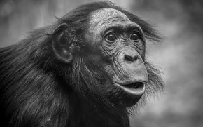 Обои обезьяна, взгляд, портрет