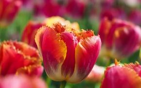 Картинка макро, бутон, тюльпаны, боке