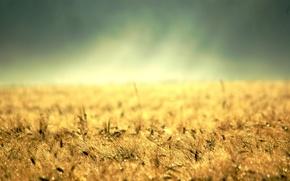 Обои десктоп, земля, желтая трава, золото, колосс