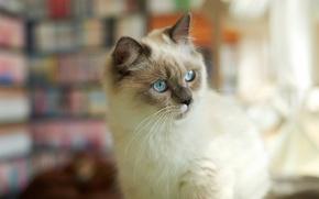 Картинка кошка, кот, взгляд, внимание, пушистая, сиамская
