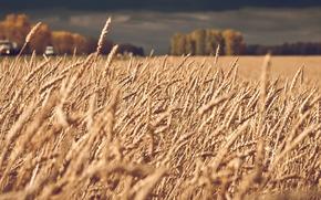 Картинка пшеница, поле, пейзаж