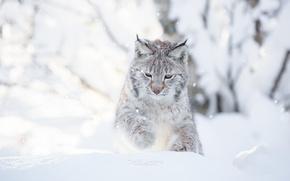 Обои кошка, Cecilie Sonsteby, снег, зима, день, photography, рысь, белый фон, играет, фотограф, снежный