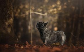 Картинка осень, лес, взгляд, деревья, листва, собака, профиль, боке, французский бульдог