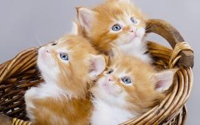 Картинка корзина, котята, рыжие, трио, мейн-кун, троица, голубые глазки