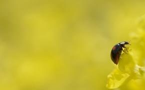 Картинка цветок, желтый, фон, божья коровка, насекомое