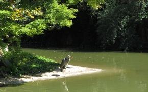 Картинка природа, озеро, птица, nature, lake, Серая цапля, grey heron