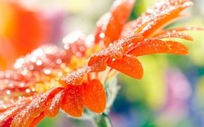 Картинка цветок, капли, макро, оранжевая, лепестки, размытость, гербера