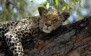 Картинка кошка, взгляд, дерево, отдых, леопард