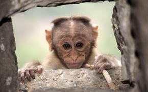 Картинка взгляд, обезьяна, фон