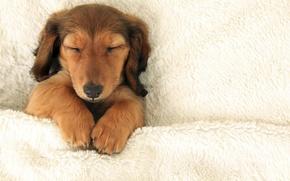 Картинка white, puppy, dog, animal, sweet, sleep, bed, funny, cute, paw