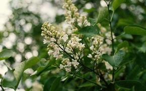 Картинка листья, цветы, белая, цветение, сирень