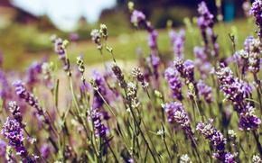 Картинка фиолетовый, цветы, лаванда