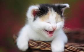 Обои мордочка, корзина, котёнок