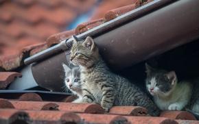Картинка котята, малыши, трио, на крыше, троица