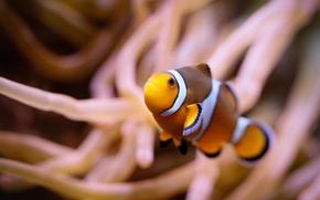 Картинка макро, водоросли, рыбка, подводный мир, рыбка-клоун