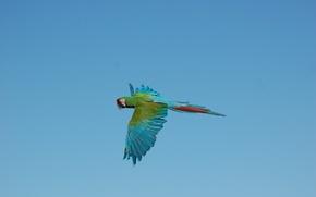 Обои небо, полет, крылья, ара