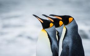 Обои королевские, Антарктика, пингвины, Южная Георгия