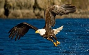 Картинка вода, полет, брызги, птица, орел, крылья
