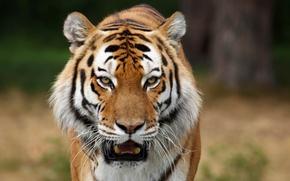 Обои боке, тигр, хищник, морда, клыки