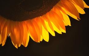 Картинка фон, темный, подсолнух, лепестки, оранжевые