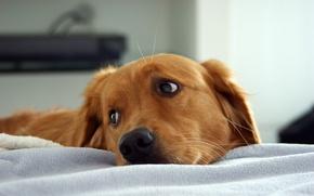 Картинка взгляд, собака, грустная морда