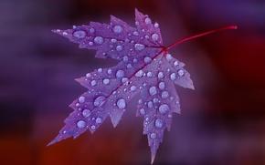 Картинка вода, капли, лист, роса, цвет, клен