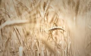 Картинка пшеница, поле, макро, widescreen, обои, рожь, размытие, колоски, wallpaper, колосья, широкоформатные, background, колосок, полноэкранные, HD ...