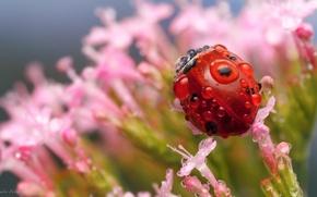 Картинка капли, макро, цветы, роса, божья коровка, насекомое