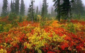 Картинка forest, trees, fog, bushes, color, spruce
