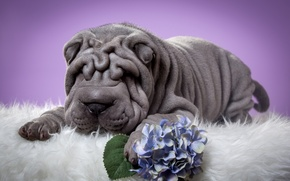 Картинка цветок, шарпей, щенок, складки, гортензия