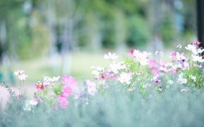 Картинка свет, поляна, весна, размытость, розовые, белые, космея