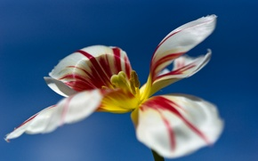 Обои цветок, небо, тюльпан, лепестки