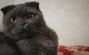 Картинка глаза, кот, взгляд, макро, фото, серый, фон, зрачки, британский, котэ, британец